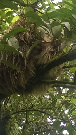 Picture of sloth in the town of San Carlos enroute to Arenal. , radio - June 2015