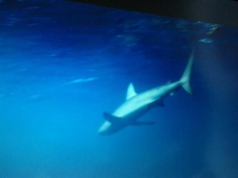 Galapagos shark - Oahu