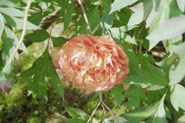 Beautiful flower!, Sonovia K - June 2010