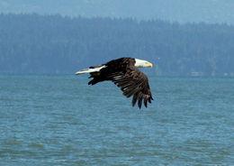 Bald eagle. , Marlon L - August 2015