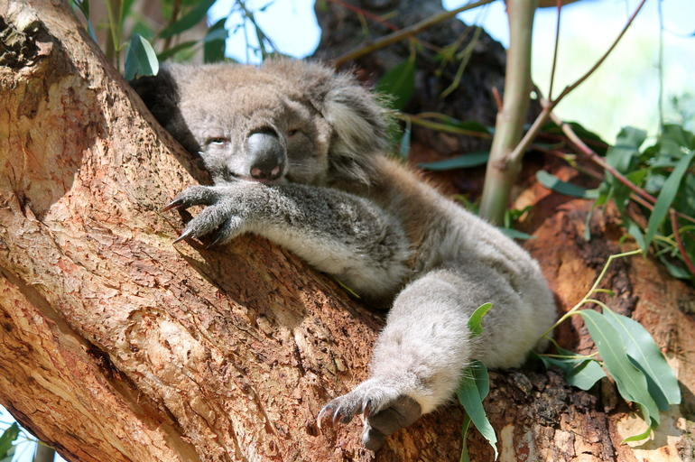 Sleepy Koala - Melbourne