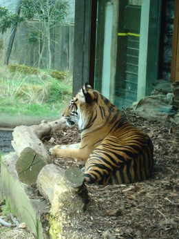 Beautiful Tiger, en.dovier - March 2016