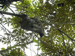 Sloth close to tram ride station , Britt B - May 2013