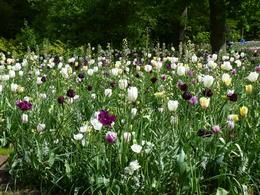 Trots att det var sent på säsongen stod de flesta tulpaner i full blom. , Arne J - May 2014