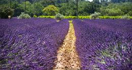 Beautiful lavender fields , Claudia P - June 2015