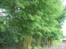 We were brushed by bamboo branches during our ride. , Linda D - July 2013