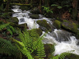 Part of a short walk through the rainforest on the way to Marakoopa Cave. , David C - December 2010