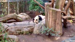 Mother panda, Josh - February 2015