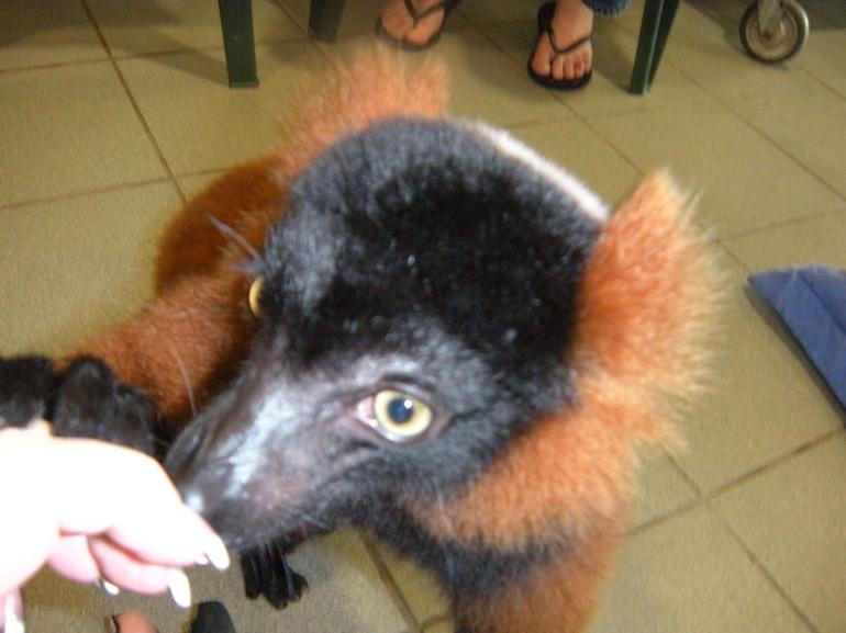 Lemur looking for food - Miami