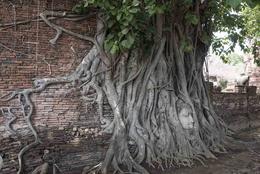 Buddha head embedded in banyan tree , Luciana F - May 2017