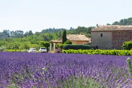 Lavender fields with the farm house in the background , Claudia P - June 2015