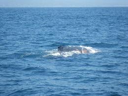June 20th 2015 humpback at Dana Point. , Linda B - September 2015