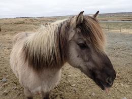 Icelandic Horse , Jeff H - May 2017