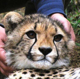 Cuddle a Cheetah! - September 2012