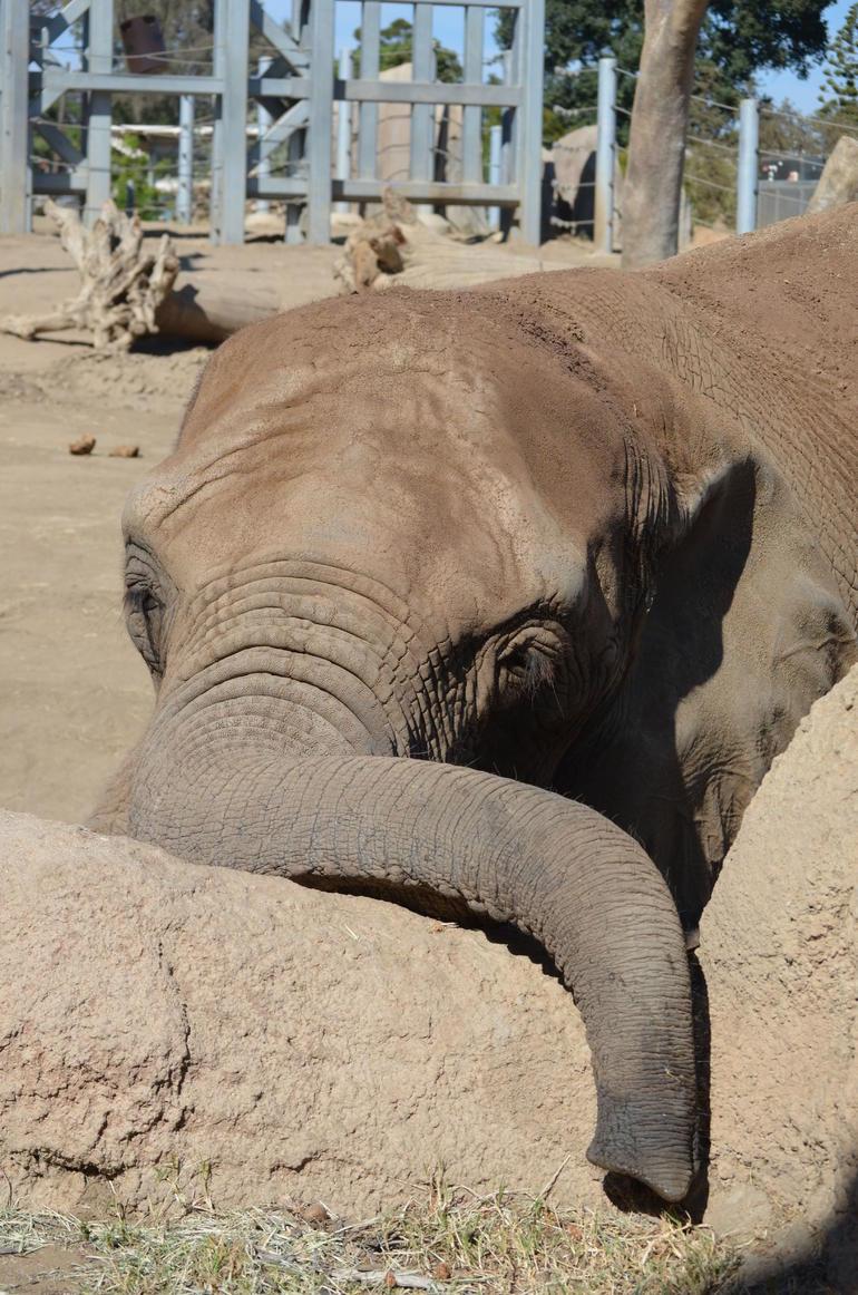 Curious Elephant - San Diego