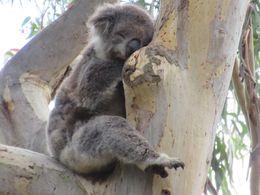 koala hunting - , GARY E - April 2015