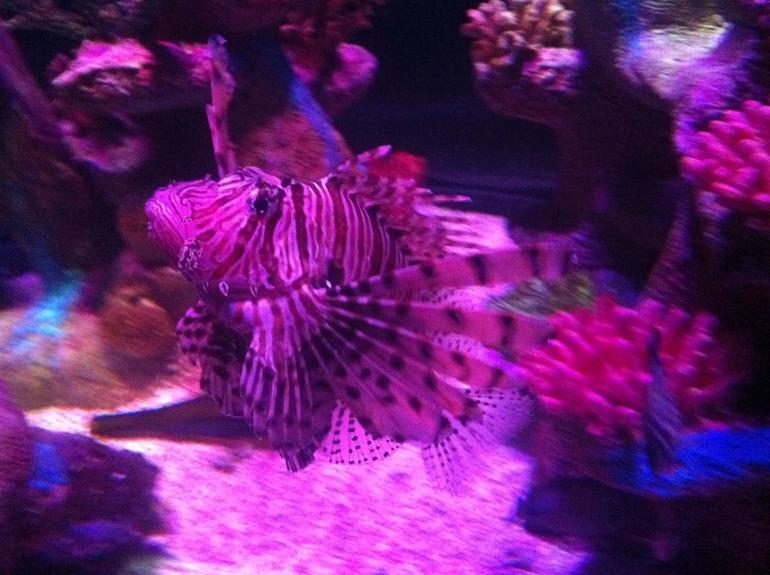 Lion Fish - Phoenix
