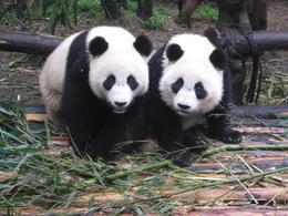 Giant Pandas - May 2012