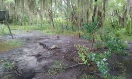 We were feeding the gators and a crazy raccoon came running up to the gator, bit him on the but and ran around to the opposite side of the gators swing and took his marsh mellow away into the woods. ... , karenalex67 - August 2016