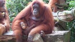 Orangotangs at breakfast , Clare W - August 2013