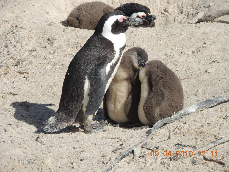 Boulders Beach and the penguins - Cape Town