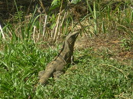 This was taken just a short walking distance away from our stop for breakfast on the way to Manuel Antonio National Park. There were about a half dozen of these 2-3 feet long creatures sunning ... , Thomas D - April 2012