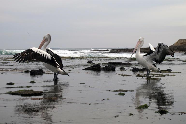 Pelicans at Newcastle Beach -