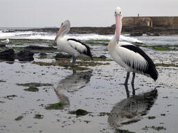 I don't think the pelican on the right was too happy about having it's photo taken. , David C - December 2010