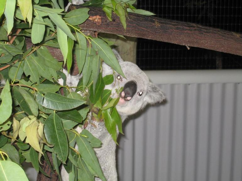 Koala eating - Cairns & the Tropical North
