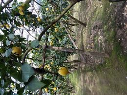 Lemon groves for lemons that make limoncello , Shannonlsummers - March 2017