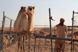 A camel at the camel enclosure and its handler. , Craig F - January 2016