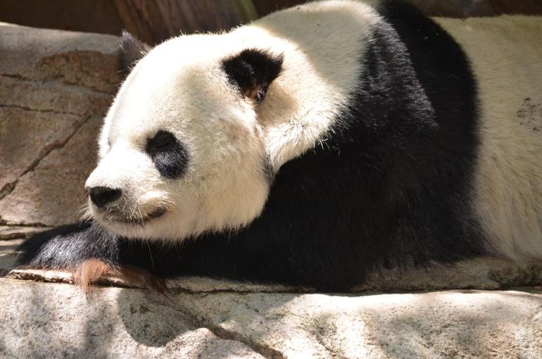 Gao Gao the Panda - San Diego