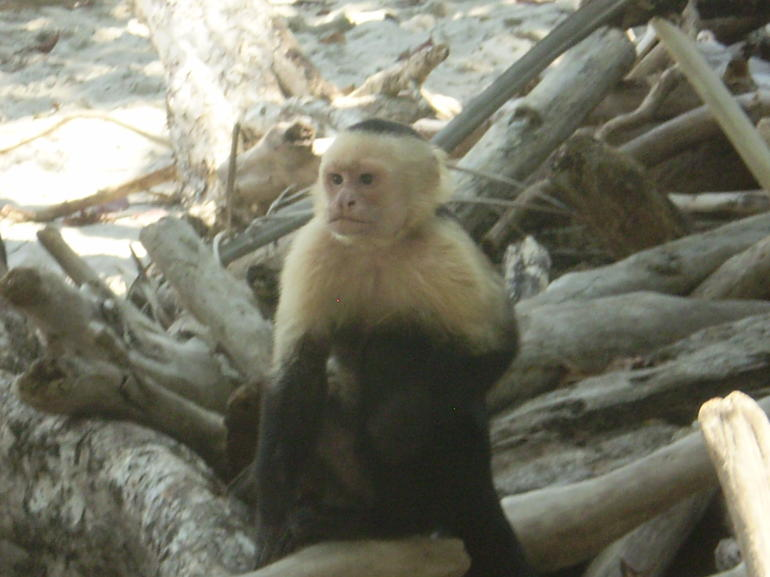 Manuel Antonio - Monkey - San Jose