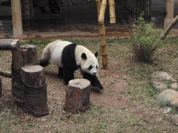 The lovely pandas - they are a lot smaller than i thought they would be. , Lynn C - January 2011
