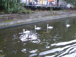 Cute swans :) , Yuval G - August 2011