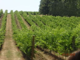 close up of Chianti region's acres of wine grapes and hillsides , Christine K B - August 2015
