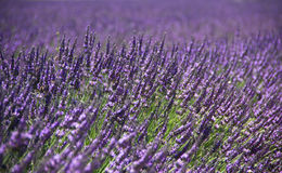 A close up view of the lavenders , Claudia P - June 2015