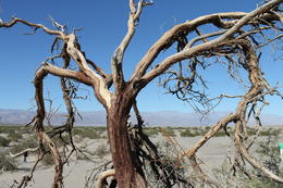 Interesting dead tree that is quite majestic in this barren land , June D - October 2012