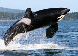 Orca Breaching - May 2011