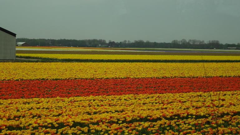 tulips - Amsterdam