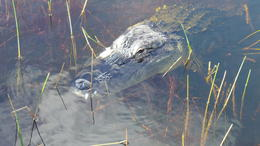 A close up of old snaggletooth, a resident alligator. He seemed to like all the attention. , Paulette R - November 2013