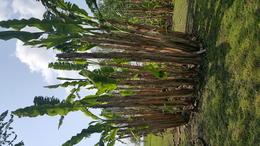 Sugar cane in the garden at Laura Plantation. , barbarata - April 2017