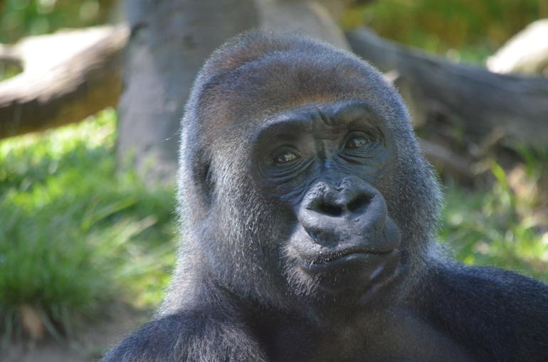 Gorilla - San Diego