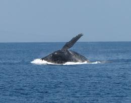 One of several whales breaching that we witnessed on our trip...awesome! , Greg L - April 2012