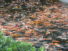 Uncountable koi in the pond, Sum Sum W - May 2009