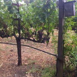 At the vineyards, Kierra - August 2014