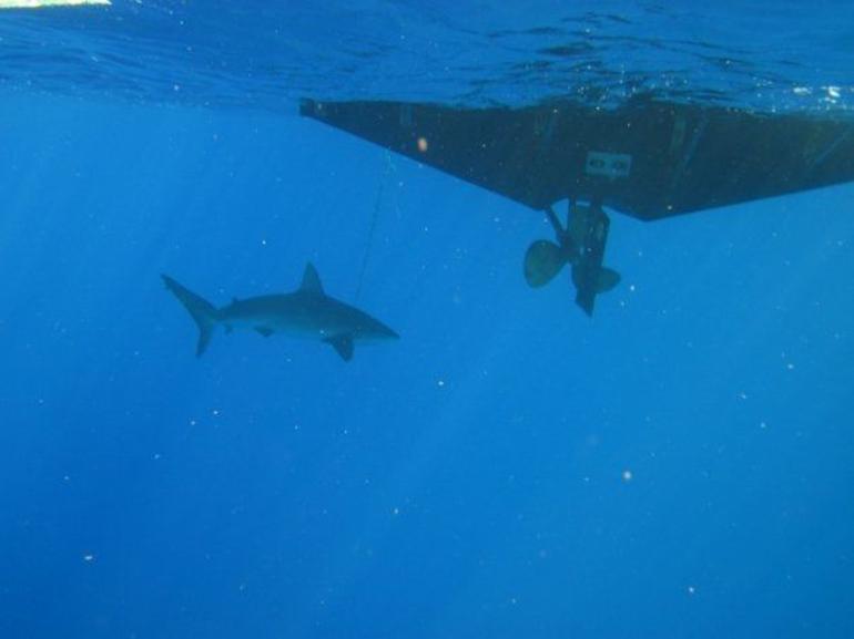A Lone Shark - Oahu