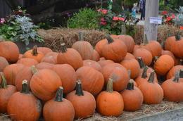Pumpkins at the farm. , Soumitra S - October 2013