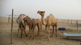 We visited a camel farm on the way to the desert camp , Senthil V S - August 2016