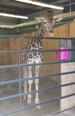 Baby giraffe , Mandy3 - December 2014